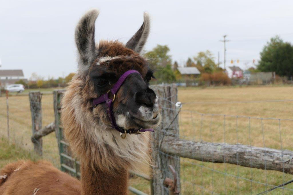Close up profile image of our new llama, Maggie.