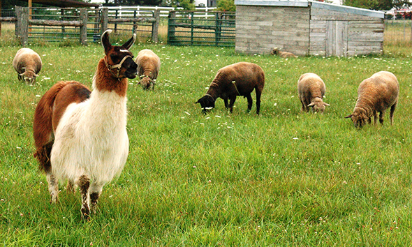 Here is our llama Alejandro, in one of the pastures with his flock of sheep.
