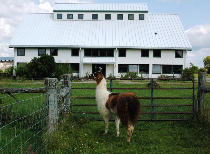Image of our now deceased llama in front of our multipurpose barn.