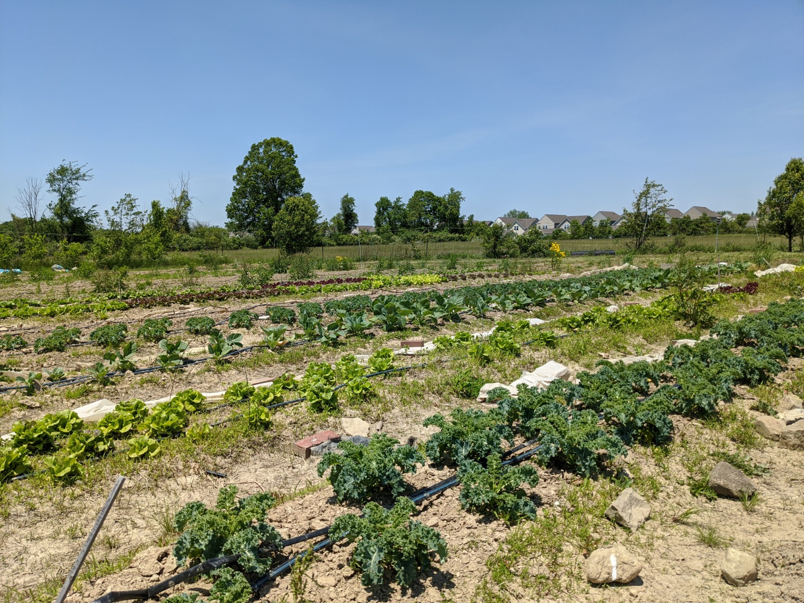 View of neatly manicured vegetable garden rows.