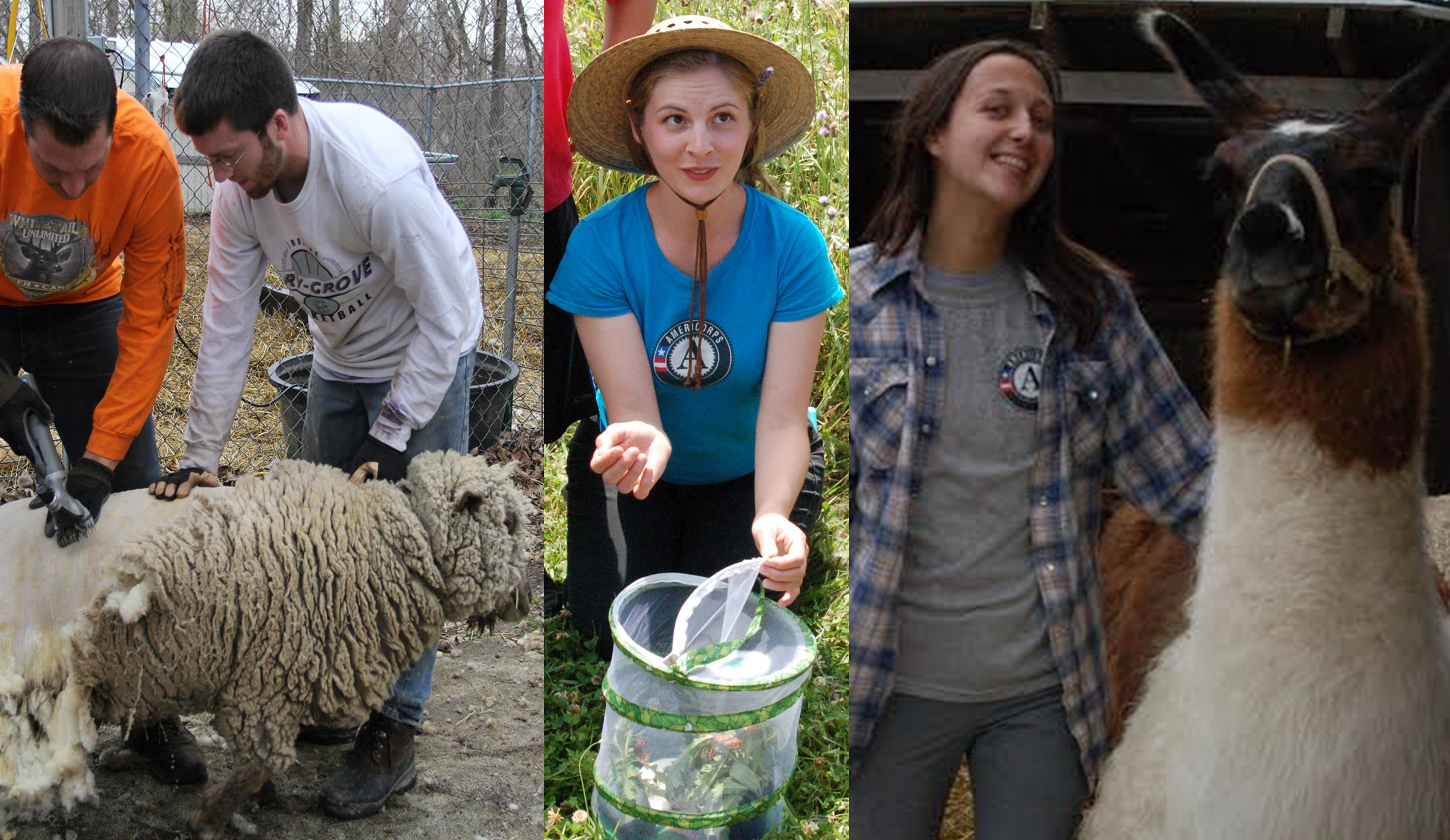 Images of previous AmeriCorps members that Shepherd's Corner has had over the years completing tasks. Shearing sheep, teaching about butterflies, and caring for our animals.